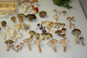 Eine Auswahl unserer schönsten selbstgesammelten Pilze.