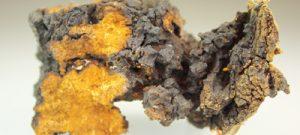 Ein Stück des Chaga Pilzes
