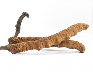 Der cordyceps, auch Raupenpilz genannt, da er aus einer Raupe im Boden herauswächst.