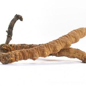 Der Heilpilz cordyceps, auch Raupenpilz genannt, da er aus einer Raupe im Boden herauswächst.