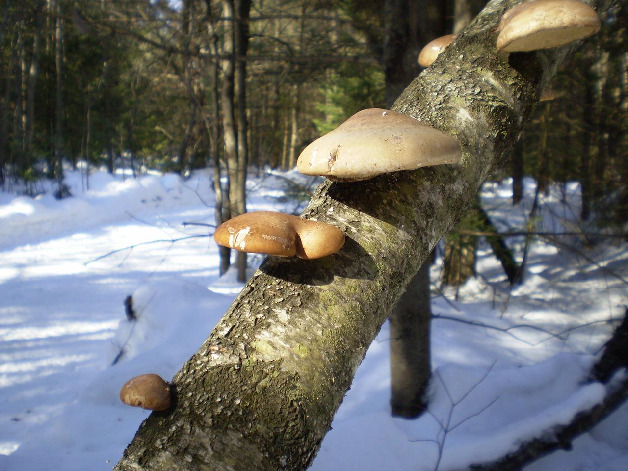 Pilze sammeln im Winter