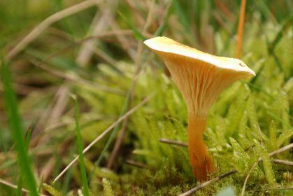 Pilze – Nahrungsquelle für verzweigtkettige Aminosäuren