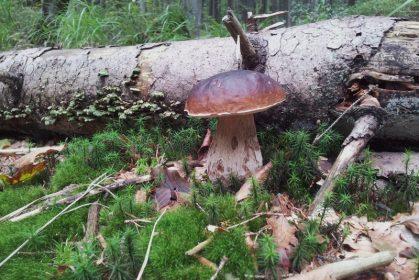 Pilze – Bodenschätze aus den Wäldern